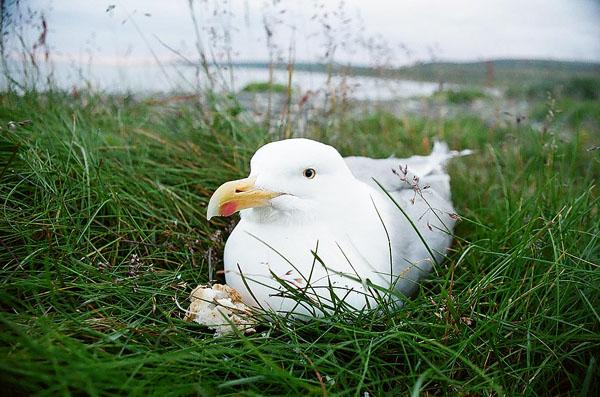 Чайка за полярным кругом / Фото из России