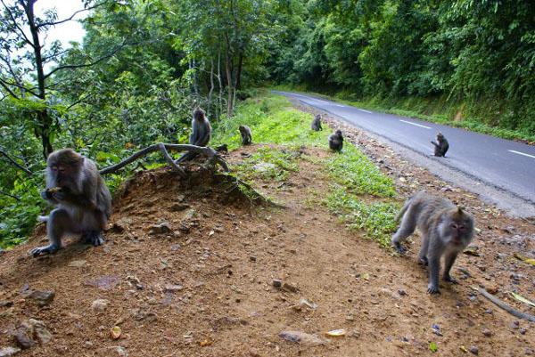 Обезьяний лес по дороге в Бангсал, Ломбок / Фото из Малайзии