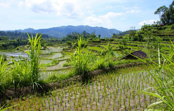 Рисовые террасы на Бали / Фото из Малайзии