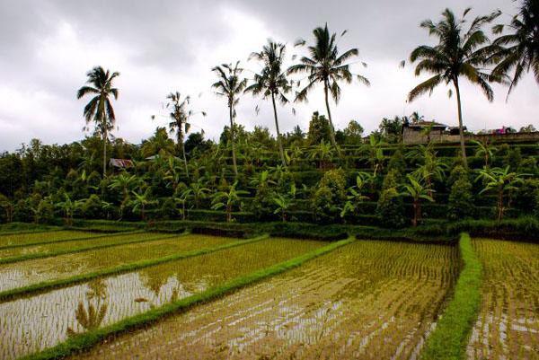 Рисовые террасы у водопадов Гит-Гит / Фото из Малайзии