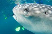 китовая акула / Джибути