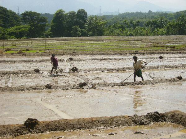 Работа на рисовом поле, Шри-Ланка / Фото со Шри-Ланки