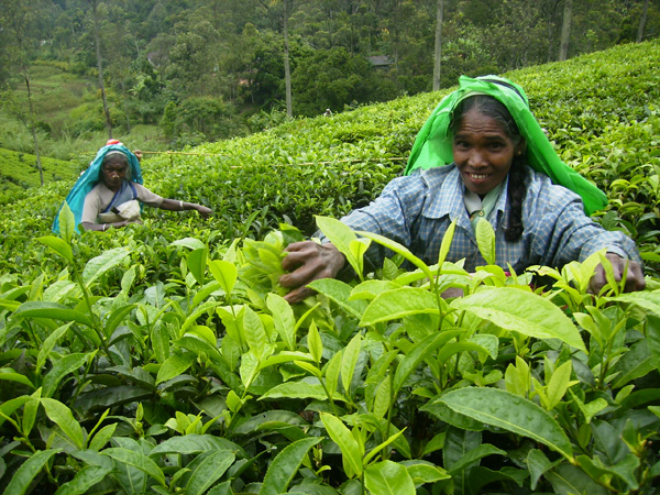 Сбор чая - нелегкое занятие, Шри-Ланка / Фото со Шри-Ланки