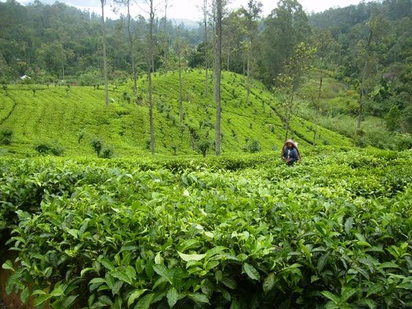 Чайные плантации Нувара-Элии, Шри-Ланка / Фото со Шри-Ланки