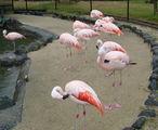 фламинго, Беппу / Япония