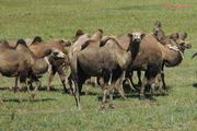 мирно пасущиеся верблюды / Монголия