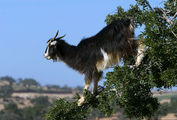древолазающая коза / Марокко
