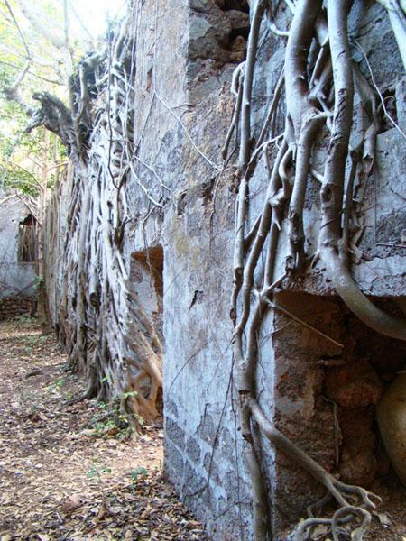 Стволы и корни деревьев обвивают стены Рэди-форта, Гоа / Фото из Индии