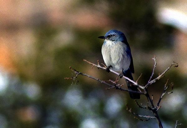Маленькая птичка с неромантичным названием синий дубонос, парк Zion / Фото из США