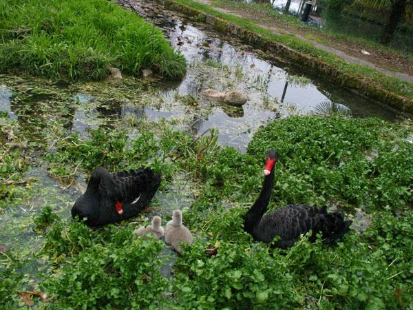 Черные лебеди в Приморском парке, Новый Афон / Фото из Абхазии