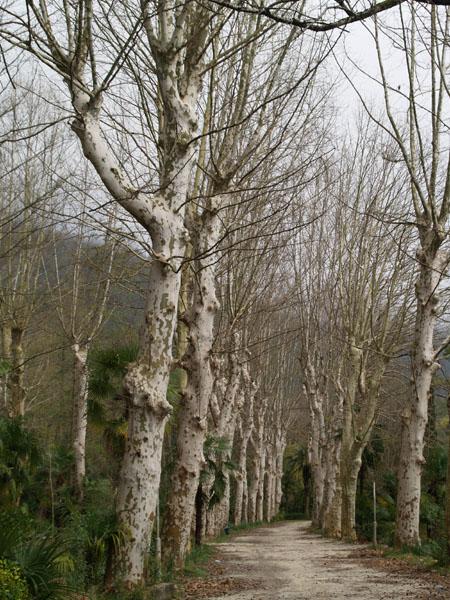 Платановая аллея парка, Гагра / Фото из Абхазии