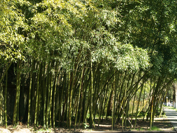 Бамбуковая роща, Пицунда / Фото из Абхазии