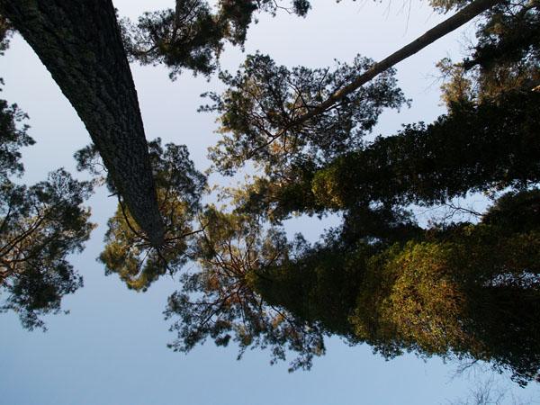 Реликтовые сосны заповедника в Пицунде / Фото из Абхазии