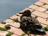 Уточки охраняют яйца / Нидерланды