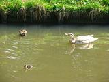 Плавают вместе с детьми в каналах / Нидерланды