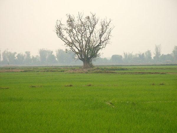 Рисовые поля в Бирме / Фото из Мьянмы