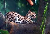 Дикая кошка / Коста-Рика