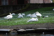 Лебеди / Бельгия