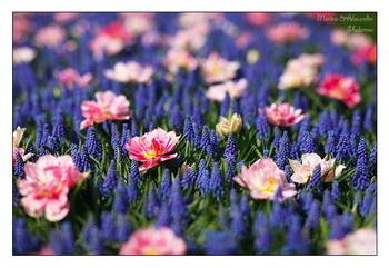 Цветы / Нидерланды
