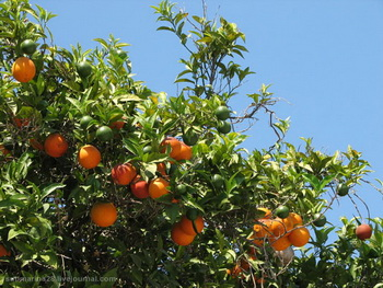 Апельсины / Турция