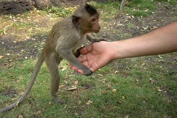 Лопбури. Детёныш макаки-крабоеда / Таиланд