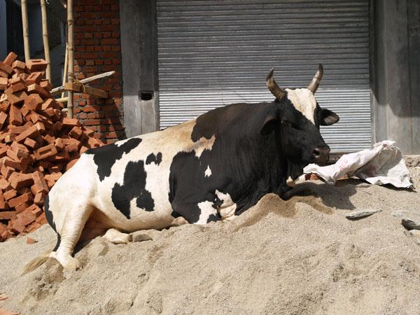 Впечатляющих размеров бык на стройке в Макледгандже / Фото из Индии