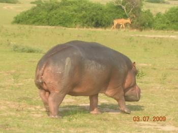 Не самый стройный зверь - зато хозяин Нила / Руанда