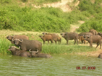 Стадо буйволов на водопое / Руанда