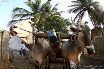 Ездовая корова / Индия