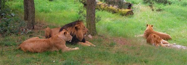 Царь зверей всегда величественен, парк Kolmården / Фото из Швеции
