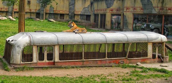 """Автобус """"Москва - Владивосток"""" и амурский тигр в парке Kolmården / Фото из Швеции"""