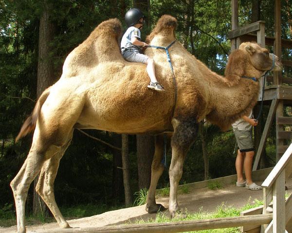 Поездка на верблюде - для тех, кто устал от пешей прогулки / Фото из Швеции