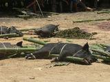 Жертвенные свиньи / Индонезия