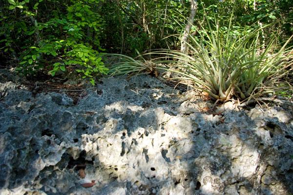 Растения живут на камнях, маршрут Enigma de las rocas / Фото с Кубы