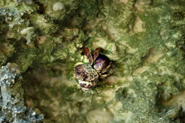 Краб-отшельник убегает от гостей маршрута Enigma de las rocas / Фото с Кубы
