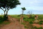 Жирафы / Кения