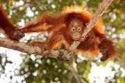 Дикая обезьяна / Индонезия