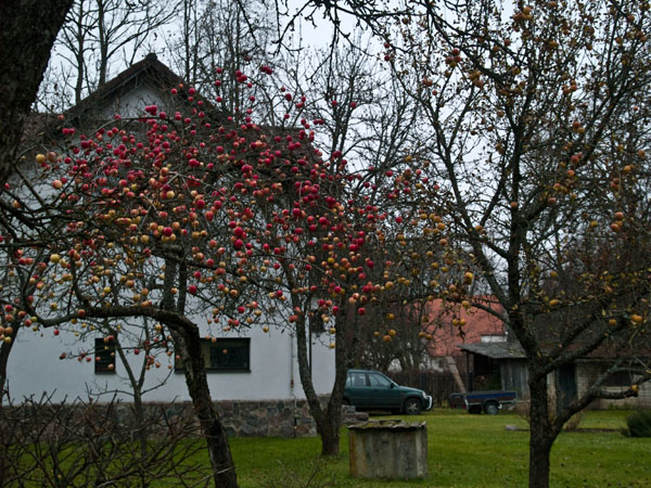 Яблоня с яблоками в ноябре / Фото из Латвии
