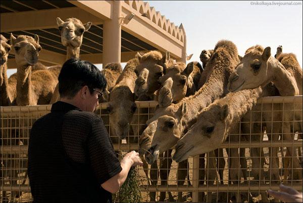 Верблюды на ферме в Бахрейне просто живут в свое удовольствие / Фото из Бахрейна