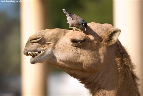 На верблюжьей ферме хочется провести несколько часов, Бахрейн / Фото из Бахрейна
