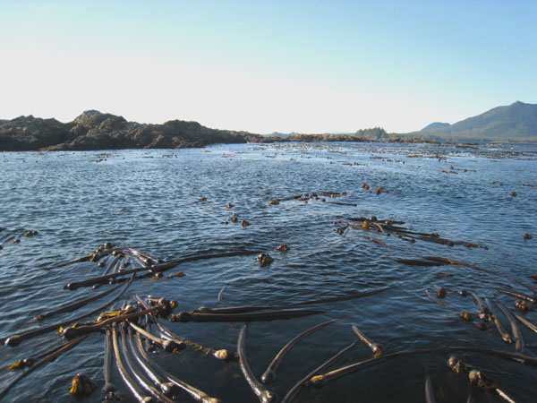 Водоросли - дом многих морских животных, Ванкувер / Фото из Канады