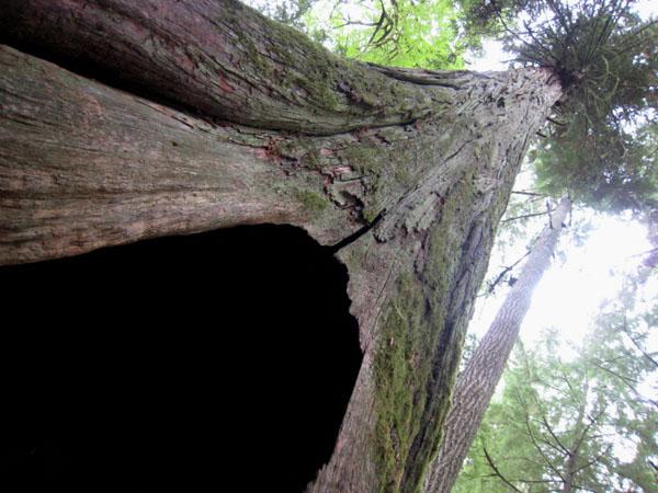 Гигантское дерево в провинциальном парке MacMillan (Cathedral Grove), остров Ванкувер / Фото из Канады
