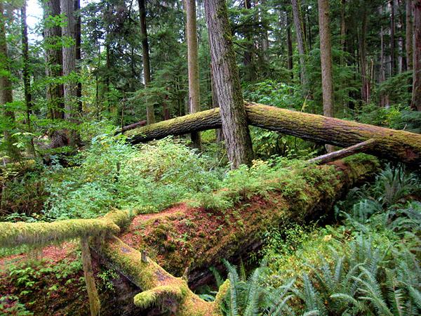Дождевой лес на острове Ванкувер - гордость Канады / Фото из Канады