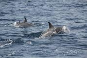 Дельфины / Оман