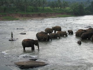 Слоны / Шри-Ланка