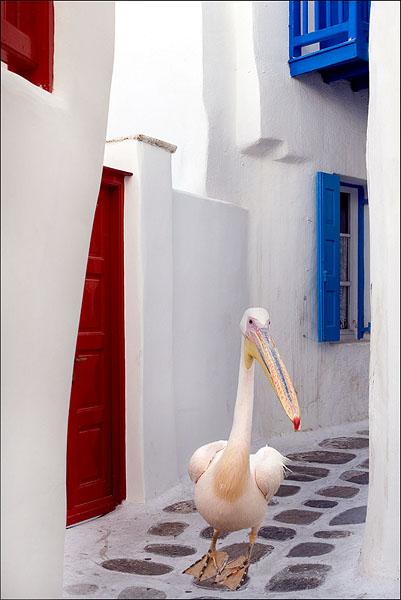 Серьезная птица на старинной улочке, остров Миконос / Фото из Греции