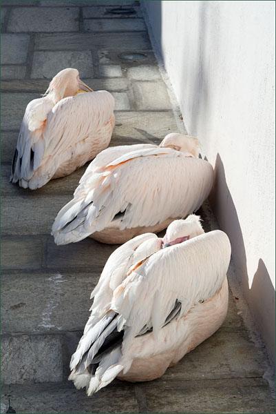 Петрос, Петрос и Петрос - пеликаны на острове Миконос / Фото из Греции