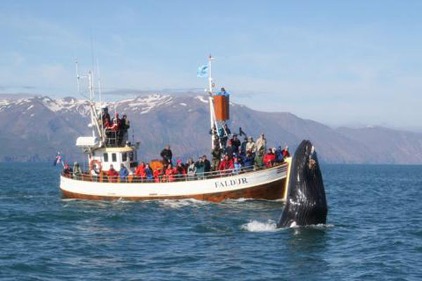 Красавец-кит - из архива компании Gentle Giants / Фото из Исландии