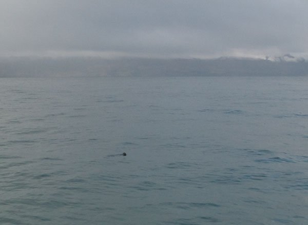 Морской котик в заливе у Хусавика / Фото из Исландии