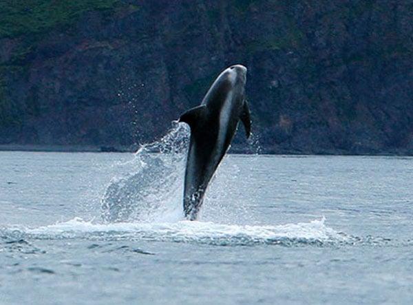 Дельфин в заливе около Хусавика - из архива Gentle Giants / Фото из Исландии